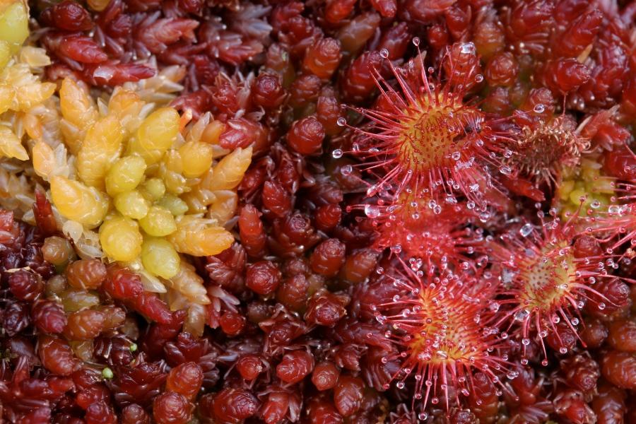 S. magellanicum D. rotundifolia © Norrie Russell
